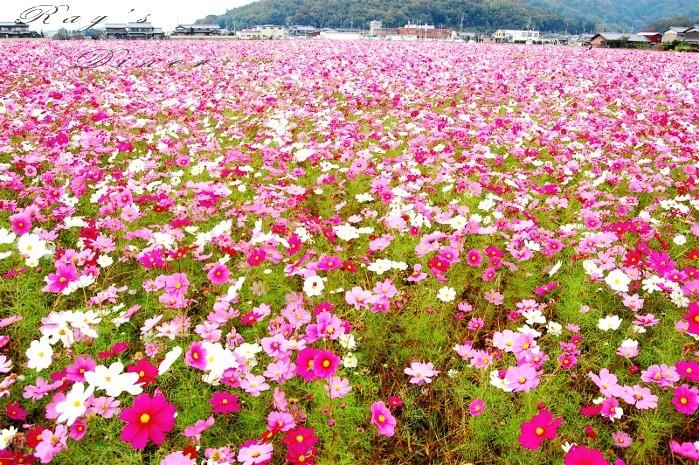秋桜1.JPG